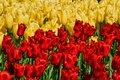 Blooming Tulips Flowerbed In Keukenhof Flower Garden, Netherland Royalty Free Stock Image - 99314476