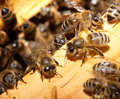 Bees On Honeycells Royalty Free Stock Photo - 9945215