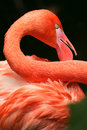 Close Up Of A Flamingo Neck And Feathers Royalty Free Stock Photography - 9946877