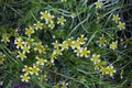 Plant Limnanthes With White And Yellow Small Flowers. Stock Photography - 99456562