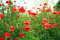 Red Poppies Royalty Free Stock Photo - 9972965