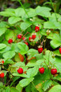 Wild Strawberry Royalty Free Stock Images - 9986569