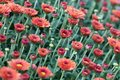 Field Red Chrysanthemums Floral Background. Many Colorful Mums Flowers Close-up Photo. Selective Focus Royalty Free Stock Photo - 99896665