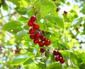 Ripe Cherries On Tree Branch Stock Images - 9993734