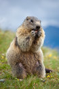 Marmot Stock Photography - 9999262