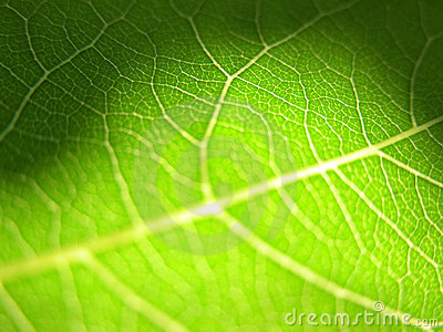 Green leaf closeup 3