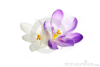 Pure crocus
