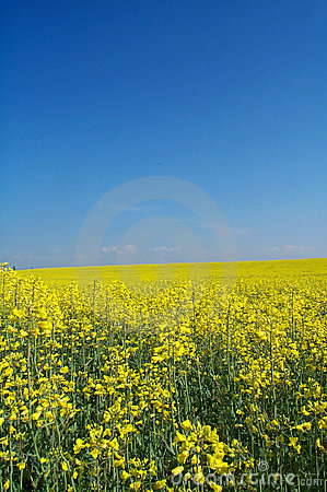 Golden rape field
