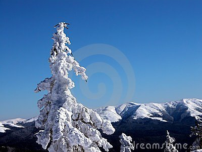 White fir tree