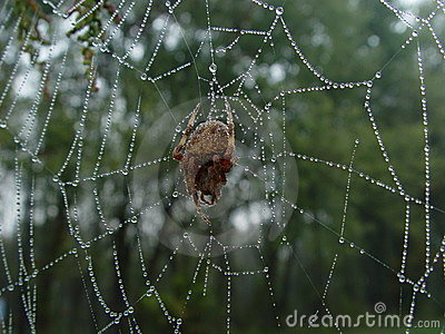 Spider in dewed web