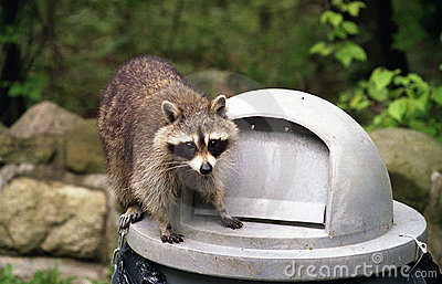 Raccoon on Garbage can