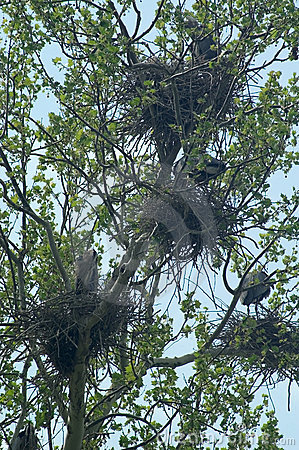 Great Blue Herons nests