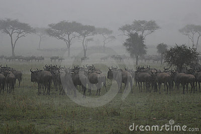 Wildebeest In The Rain