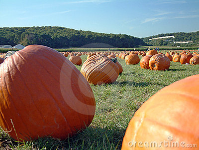 Pumpkin field 3