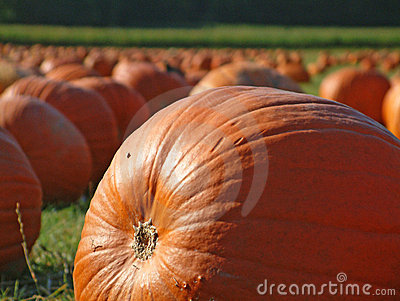 Pumpkin field 5