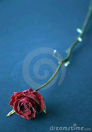Red dried rose in blue