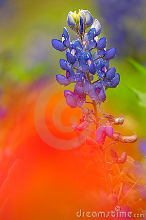 Red Painted Bluebonnet