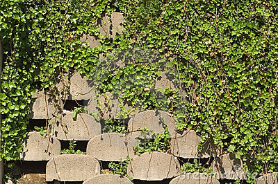 Retaining wall with ivy
