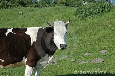 Cow on the green field