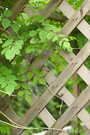Vine and trellis