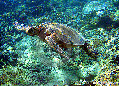 Green Sea Turtle Photo