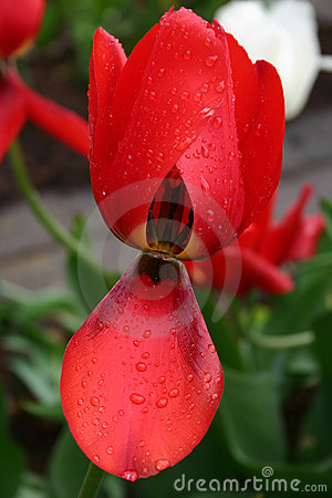 Red tulip in the rain