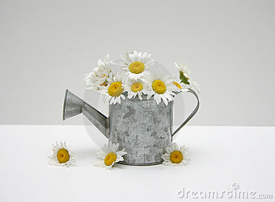Watering can of daisies