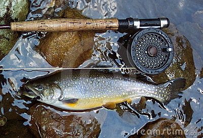 Golden Brook Trout