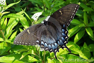 Black Swalllowtail