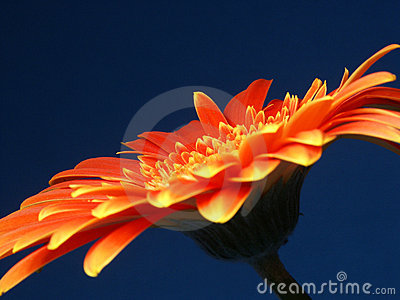 A fiery Gerber (or Gerbera)