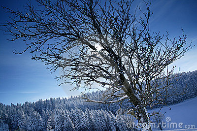Winter sun behind brenches