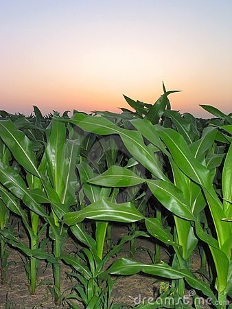 Corn During a Sunrise – 1