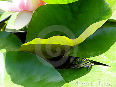 froggy under lily pad