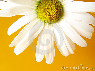 summer daisy yellow