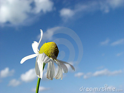 camomile in the wind