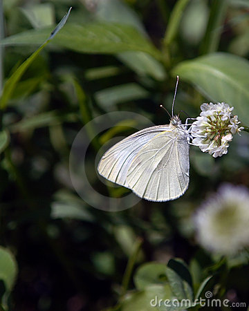 Butterfly No8