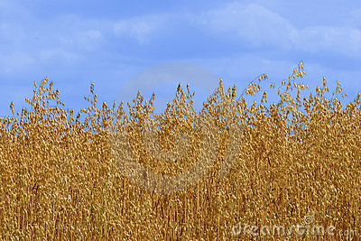 Golden Oat