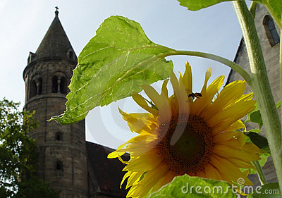 sunflower in monastery
