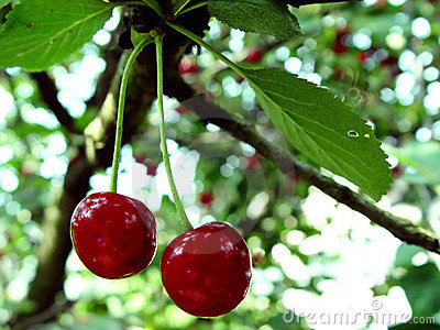 cherries on a tree