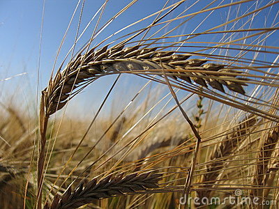 Wheat Spike II