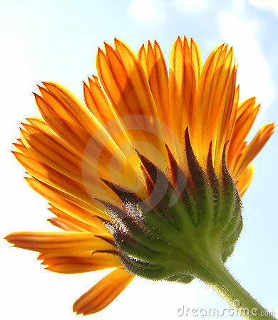 Striped calendula