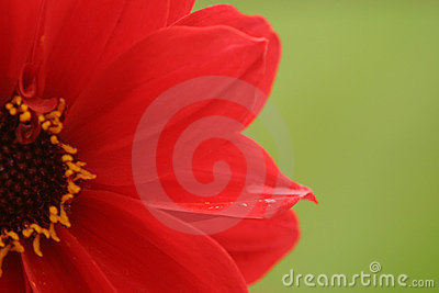 Red Flower, Green Background