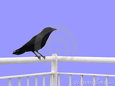 Crow (isolated)