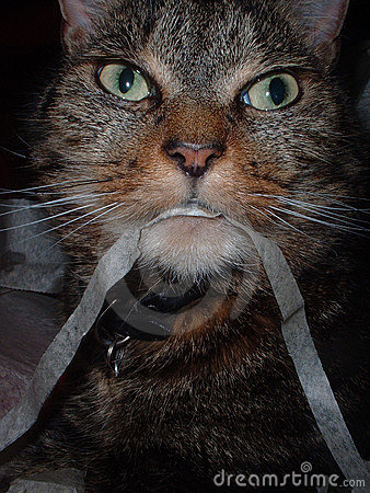 Cat eating ribbon