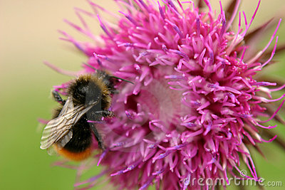Bumble Bee & Thistle