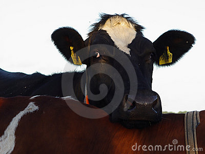 comfortable cow