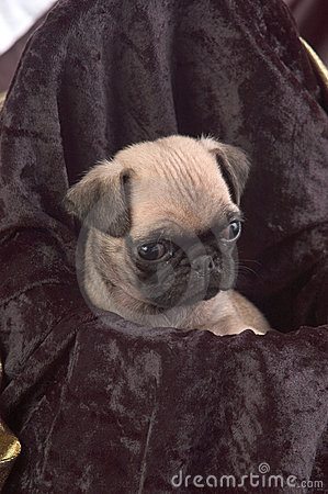 Pug Puppy Close Up