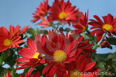 Chrysanthemum bunch