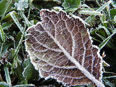 Leaf with frost