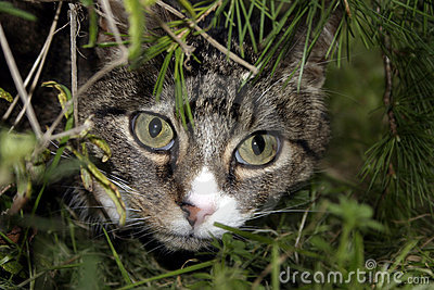 Cat in Bushes